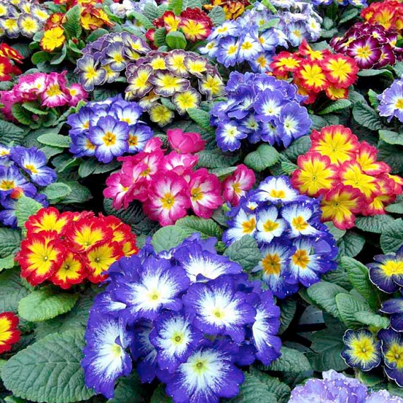 Autumn Bedding Plants - Lucky Dip