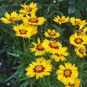 Coreopsis - Sunkiss