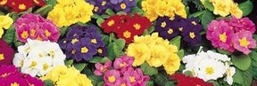Flower Seeds to Sow in April - Click to View