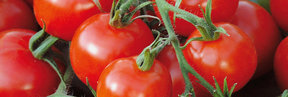 Grow your own Tomatoes - Click to View the Range