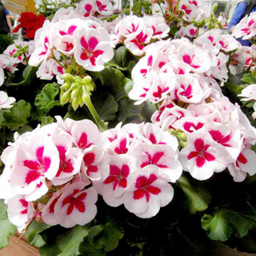 A-Z Bedding Plants