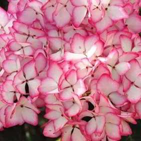 All Flowering Shrubs