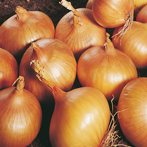 Autumn Planting Onions and Shallots