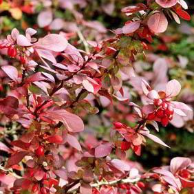 Berberis Plant