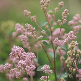 Ceanothus Plant