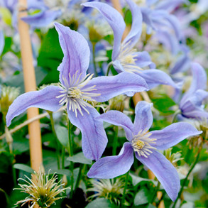 Amazing Clematis Collection