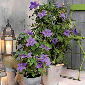 Clematis Plant