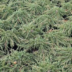 Conifer Hedging