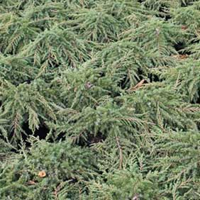 Conifers Offer