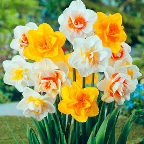 how to grow daffodil bulb