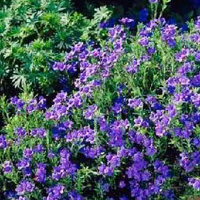 Early Flowering Alpine