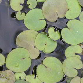 Floating Pond Plants