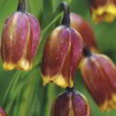 Fritillaria Bulbs