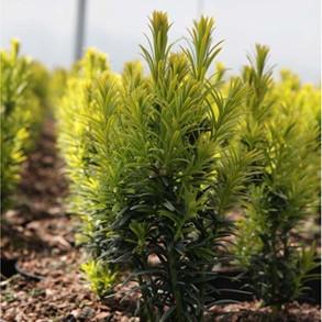 Hedging Plants