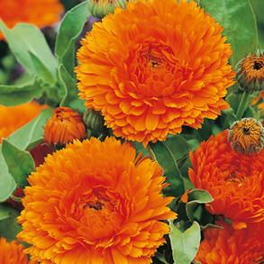 Heritage Flower Seed Range