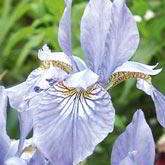 Irises Bulbs
