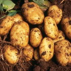 Late Season Seed Potatoes