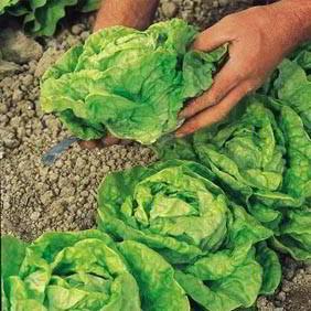 Lettuce Seeds