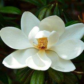 Magnolia Plant
