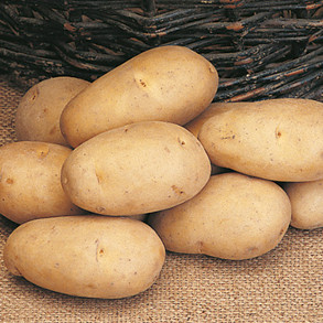 Maincrop Seed Potatoes
