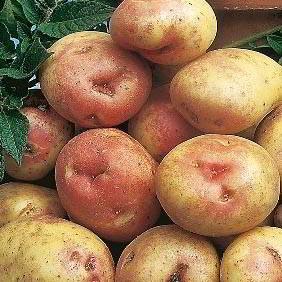 Maincrop Seed Potatoes