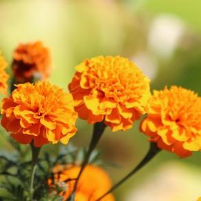 Marigold Plants