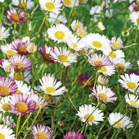 Mid Flowering Alpine