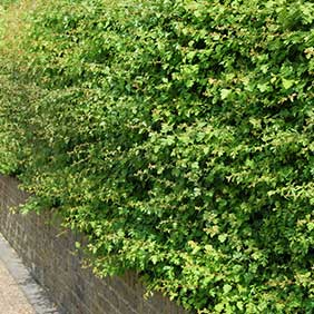 Native Hedge