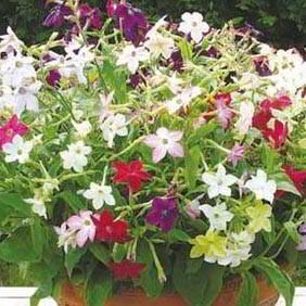 Nicotinia Plants