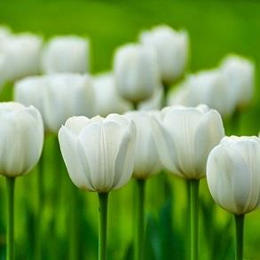 400 Spring Bulbs