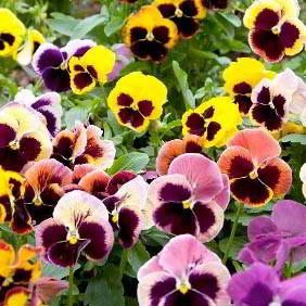 Pansy Seeds