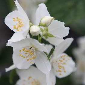 Philadelphus Plant