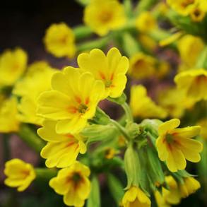 Primrose Plants