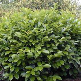 Prunus Plant
