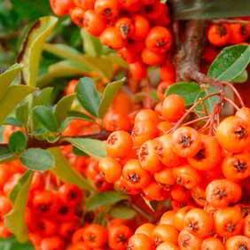 Pyracantha Plant