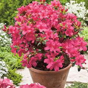Rhododendron and Azalea Plants