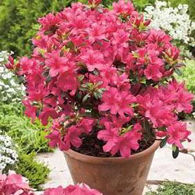 Rhododendron and Azalea Plants