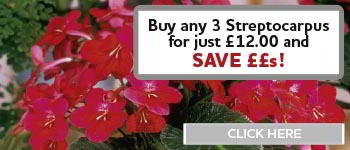 Streptocarpus Offer