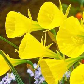 Unusual Daffodils