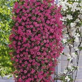 Verbena Plants