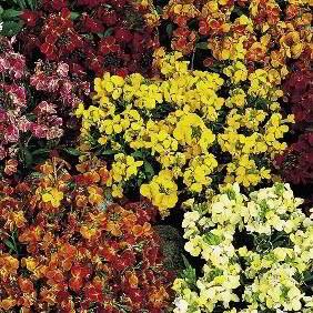 Wallflower Seeds