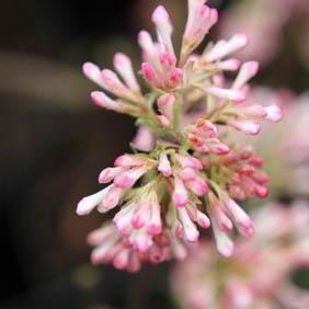 Winter Flowering Shrub