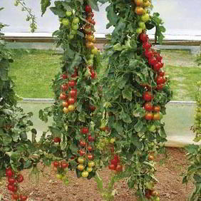 Buy Grafted Vegetable Plants