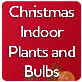 Christmas Indoor Plants and Bulbs