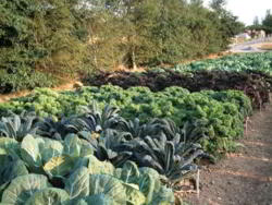 Cabbage Trial