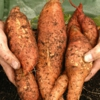 Sweet Potato Growing Guide