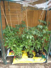 Grafted and non-Grafted tomato Shirley in early June