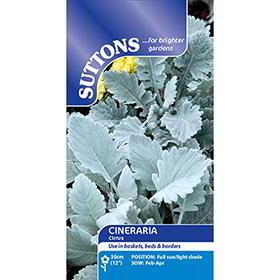 Cineraria maritima Seeds - Cirrus