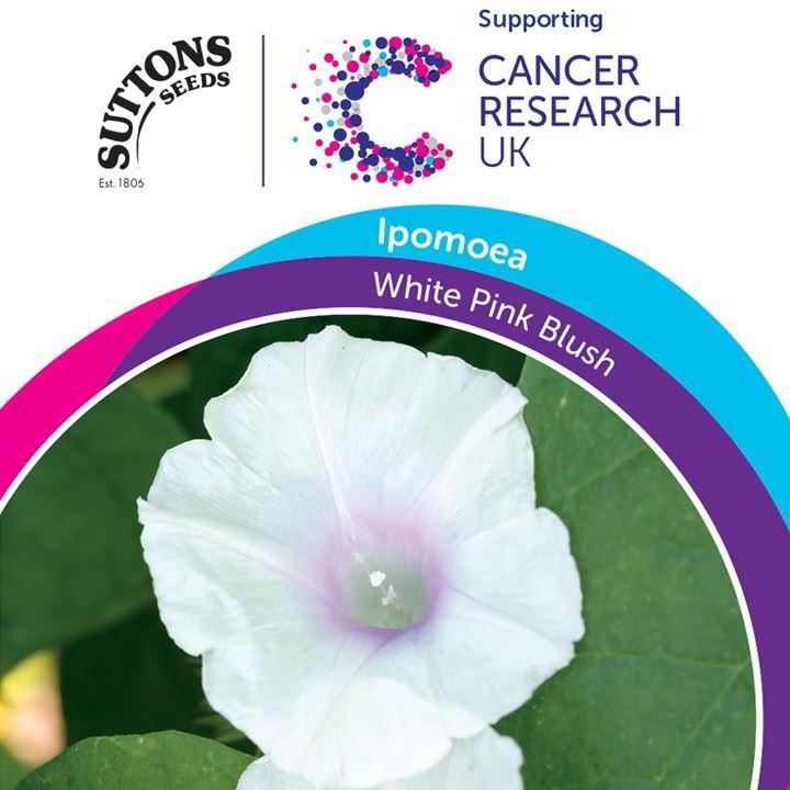 Ipomoea Seeds - White Pink Blush