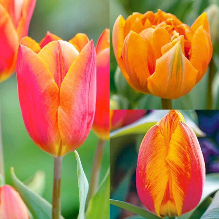 Tulip Bulbs - Orange Collection